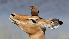 Red-billed oxpecker (Buphagus erythrorhynchus) on impala (Aepyceros melampus).jpg