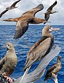 Red-footed Booby From The Crossley ID Guide Eastern Birds.jpg