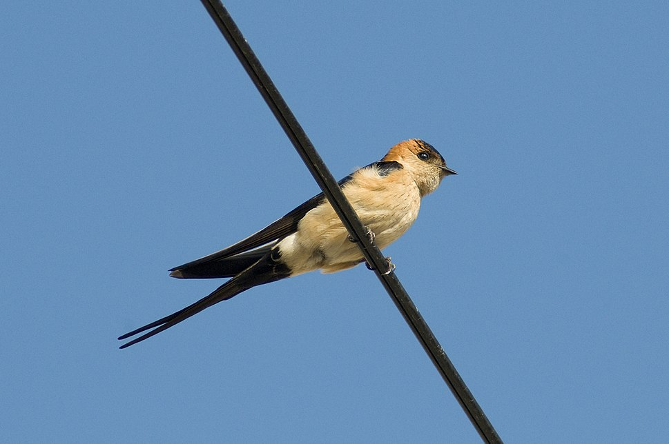 Red-rumped swallow in Calpe, Spain - May 2018 02