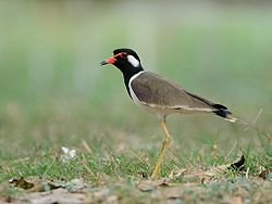 Red-wattled Lapwing 2276.jpg