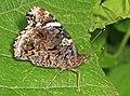 Red Admiral - Vanessa atalanta, Occoquan Bay National Wildlife Refuge, Woodbridge, Virginia (35391978595).jpg