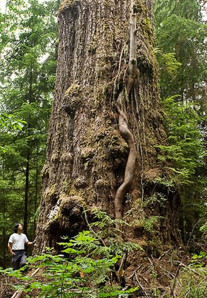 Pseudotsuga menziesii var. menziesii - The Red Creek Fir, ca.15 km from Port Renfrew, BC, measures 43.7ft around its base and stretches 242 ft high