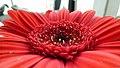 Red Flower (15942149157).jpg