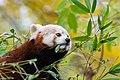 Red Panda (24677319418).jpg
