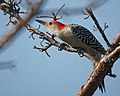 Red bellied woodpecker (6565983533) (2).jpg