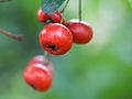 Red berries (13746673713).jpg