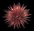 Red sea urchin 3.jpg