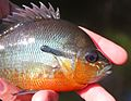 Redbreasted Sunfish - Lepomis auritus from Maryland.jpg