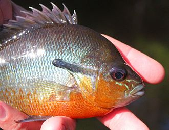 Redbreast sunfish - Redbreasted Sunfish - Lepomis auritus from Maryland