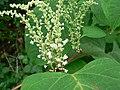 Reynoutria japonica flower (22).jpg