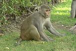 Rhesus Macaque, Agra, India.jpg
