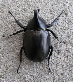 Rhinoceros Beetle Top.JPG