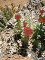 Rhodiola rosea 002.jpg