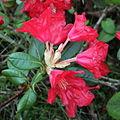 Rhododendron Elviira 3.JPG
