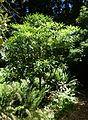Rhododendron calophytum var. openshawianum - UBC Botanical Garden - Vancouver, Canada - DSC08104.jpg