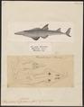 Rhynchobatus djiddensis - 1700-1880 - Print - Iconographia Zoologica - Special Collections University of Amsterdam - UBA01 IZ14200015.tif