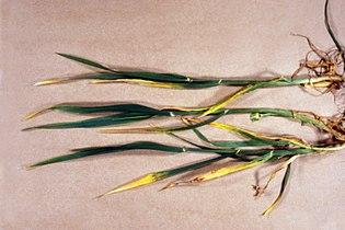 Rhynchosporium secalis (Oudem.) J. J. Davis 1493064.jpg