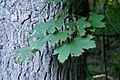 Rhytisma acerinum 155277052.jpg