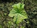 Ribes nigrum 2019-04-05 9124.jpg