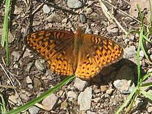 Photo of a spotted orange and brown butterfly with open wings on a background of gravel and a few blades of grass.
