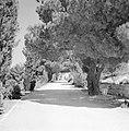 Rij oude bomen langs een voetpad, Bestanddeelnr 255-2431.jpg