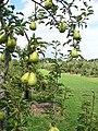 Ripening Pears - geograph.org.uk - 916542.jpg