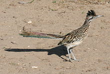 Roadrunner at Falcon SP.jpg