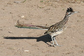 Roadrunner at Falcon SP