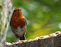 Robin (E) (9117889319).jpg