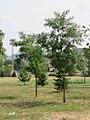 Robinia pseudoacacia - bagrem1.jpg