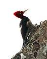 Robust Woodpecker (Campephilus robustus) - Flickr - Lip Kee (1).jpg