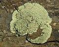 Rock Greenshield Lichen (4526412265).jpg