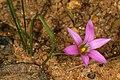 Romulea rosea 1DS-II 2-3707.jpg