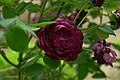 Rosa 'Cardinal de Richelieu' at Ishida Rose Garden in Odate, Akita, Japan.jpg