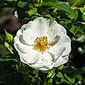 Rosa 'Innocentia' (d.j.b) 02.jpg