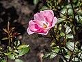 Rosa 'Lasting Beauty' (d.j.b) 02.jpg