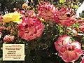 """Rosa """"Flaming Star"""" o KORtaltal. 06.jpg"""