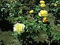 Rosa Arthur Bell 2019-05-29 4135.jpg