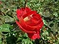 Rosa Mr Lincoln 2019-07-11 2834.jpg