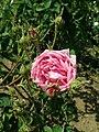 Rosa centifolia 2019-06-04 5447.jpg