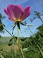 Rosa gallica sl29.jpg