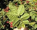 Rosa rubiginosa leaf (21).jpg