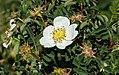 Rosa spinosissima inflorescence (44).jpg