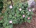 Rosa villosa inflorescence (09).jpg