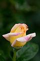 Rose, Peace - Flickr - nekonomania.jpg