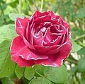 Rose - Baron Girod de L Ain (2).jpg