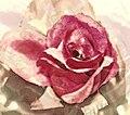 Rose rot.jpg