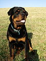 Rottweiler puppy.jpg