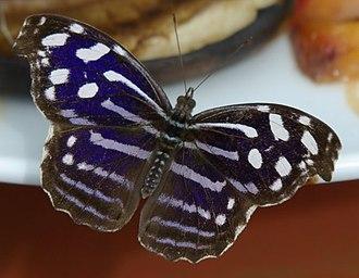 Biblidinae - Myscelia cyaniris: Epicaliini