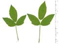 Rubus allegheniensis leaves ARS-01.png